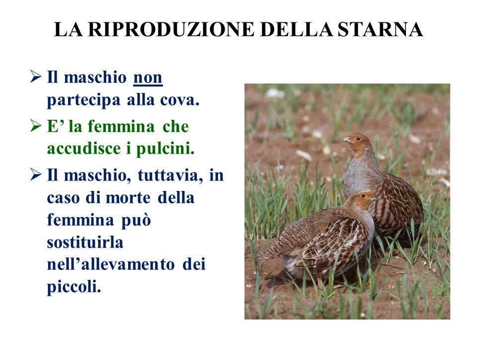 LA RIPRODUZIONE DELLA STARNA Il maschio non partecipa alla cova. E la femmina che accudisce i pulcini. Il maschio, tuttavia, in caso di morte della fe