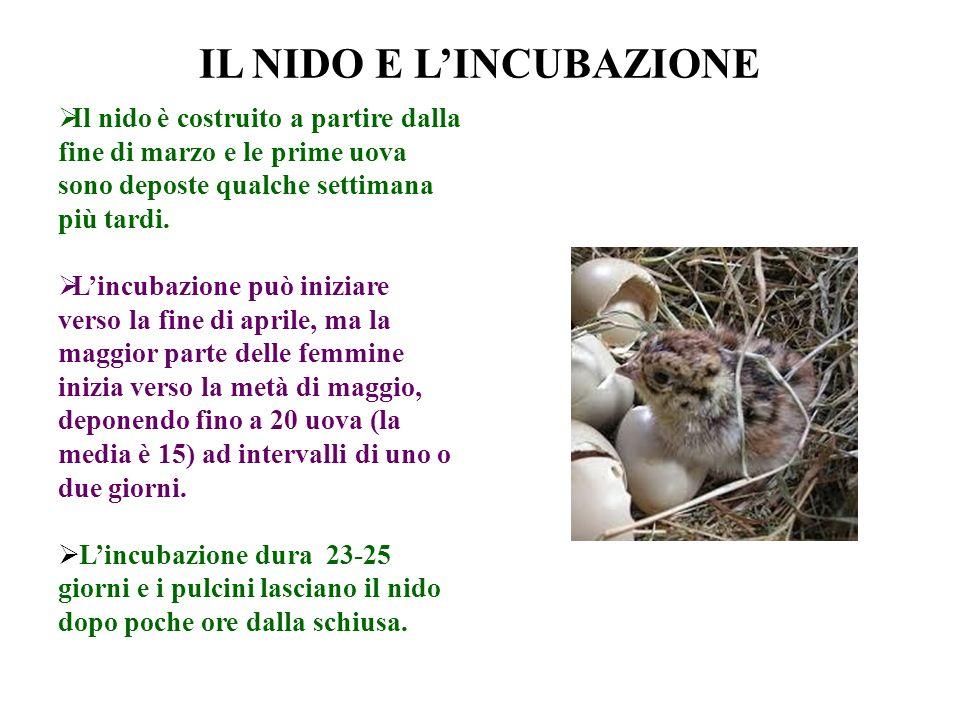 IL NIDO E LINCUBAZIONE Il nido è costruito a partire dalla fine di marzo e le prime uova sono deposte qualche settimana più tardi. Lincubazione può in