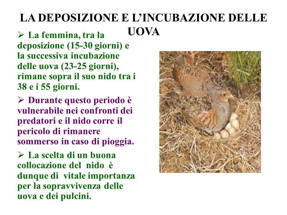 LA DEPOSIZIONE E LINCUBAZIONE DELLE UOVA La femmina, tra la deposizione (15-30 giorni) e la successiva incubazione delle uova (23-25 giorni), rimane s