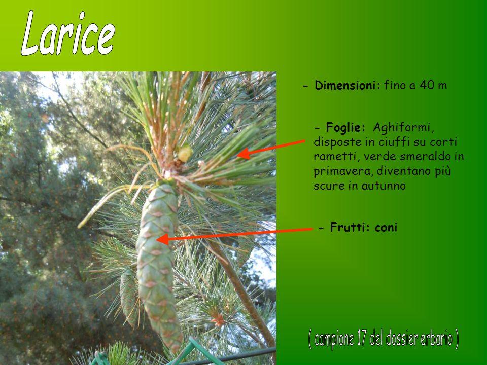 - Dimensioni: fino a 40 m - Foglie: Aghiformi, disposte in ciuffi su corti rametti, verde smeraldo in primavera, diventano più scure in autunno - Frut