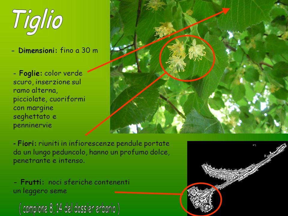 - Dimensioni: fino a 30 m - Foglie: color verde scuro, inserzione sul ramo alterna, picciolate, cuoriformi con margine seghettato e penninervie - Fior