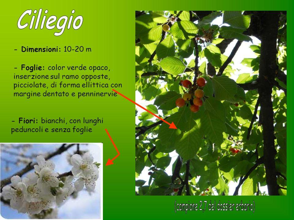 Il ciliegio può essere che produce Ciliegio a frutto DOLCE DURACINE TENERINE Ciliegio a frutto ACIDO AMARENE VISCIOLE MARASCHE - Frutto: