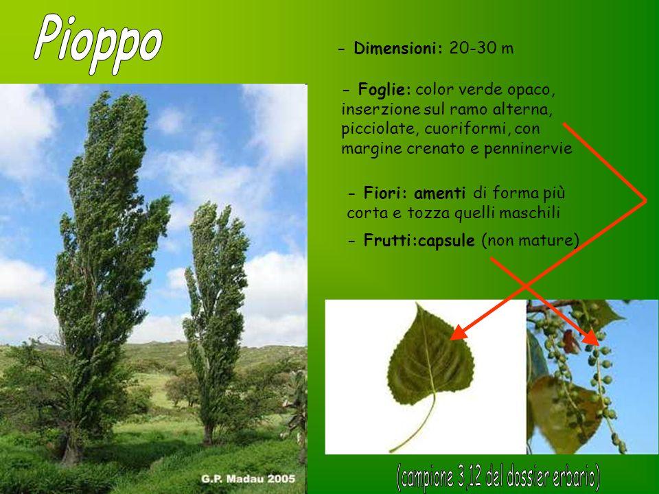 - Foglie: color verde opaco, inserzione sul ramo alterna, picciolate, cuoriformi, con margine crenato e penninervie - Dimensioni: 20-30 m - Fiori: ame