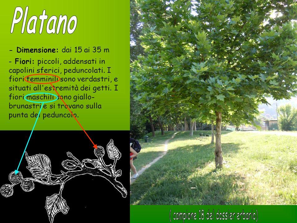 - Dimensione: dai 15 ai 35 m - Fiori: piccoli, addensati in capolini sferici, peduncolati. I fiori femminili sono verdastri, e situati all'estremità d