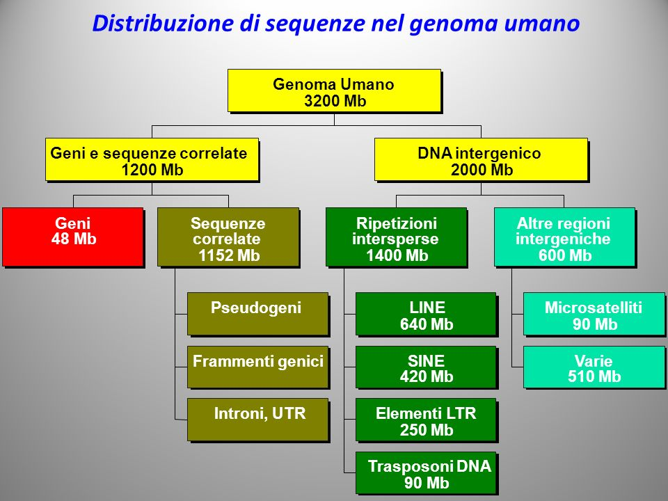 Distribuzione di sequenze nel genoma umano Pseudogeni Frammenti genici Introni, UTR Geni 48 Mb Sequenze correlate 1152 Mb LINE 640 Mb SINE 420 Mb Elementi LTR 250 Mb Trasposoni DNA 90 Mb Microsatelliti 90 Mb Varie 510 Mb Ripetizioni intersperse 1400 Mb Altre regioni intergeniche 600 Mb Geni e sequenze correlateDNA intergenico 1200 Mb2000 Mb Genoma Umano 3200 Mb