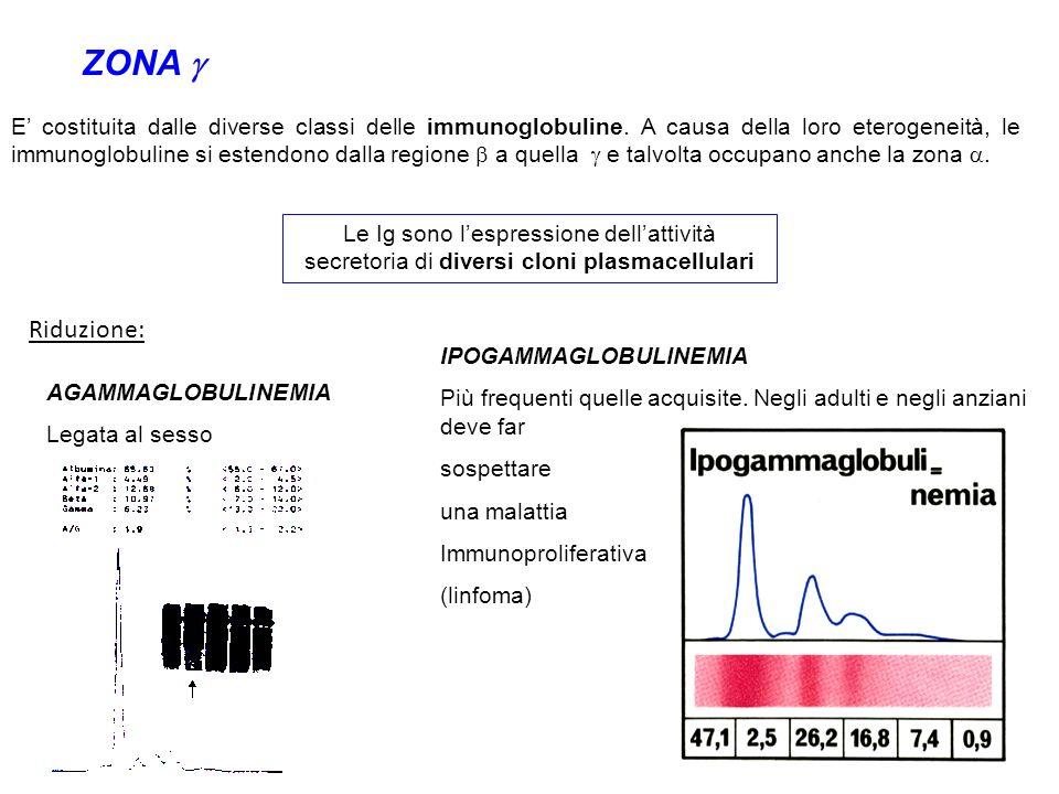 ZONA E costituita dalle diverse classi delle immunoglobuline. A causa della loro eterogeneità, le immunoglobuline si estendono dalla regione a quella