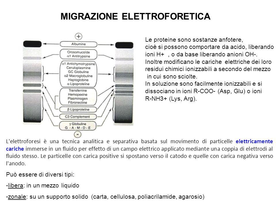 MIGRAZIONE ELETTROFORETICA * + - le proteine sono evidenziate mediante una colorazione specifica, e la loro composizione percentuale è misurata mediante densitometria.