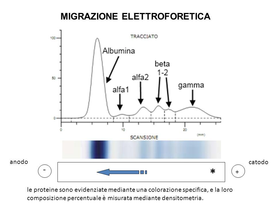 MIGRAZIONE ELETTROFORETICA * + - le proteine sono evidenziate mediante una colorazione specifica, e la loro composizione percentuale è misurata median