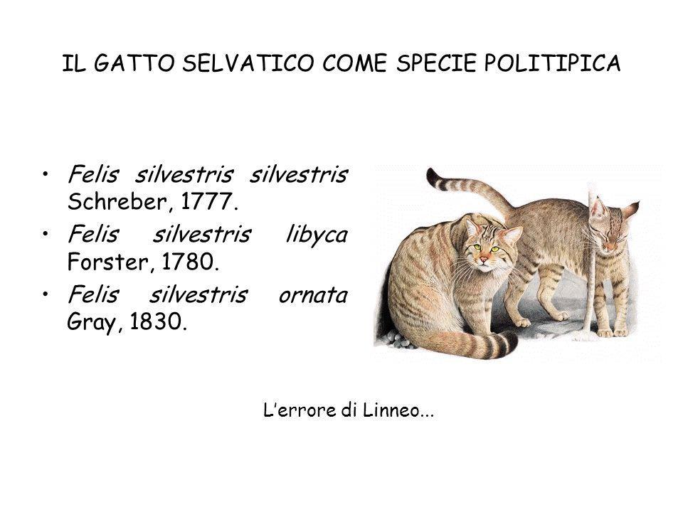 IL GATTO SELVATICO COME SPECIE POLITIPICA Felis silvestris silvestris Schreber, 1777. Felis silvestris libyca Forster, 1780. Felis silvestris ornata G