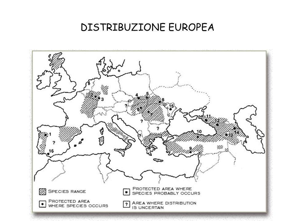 CARATTERISTICHE TABBY E NON TABBY Il fenotipo selvatico secondo Corbet (1979).