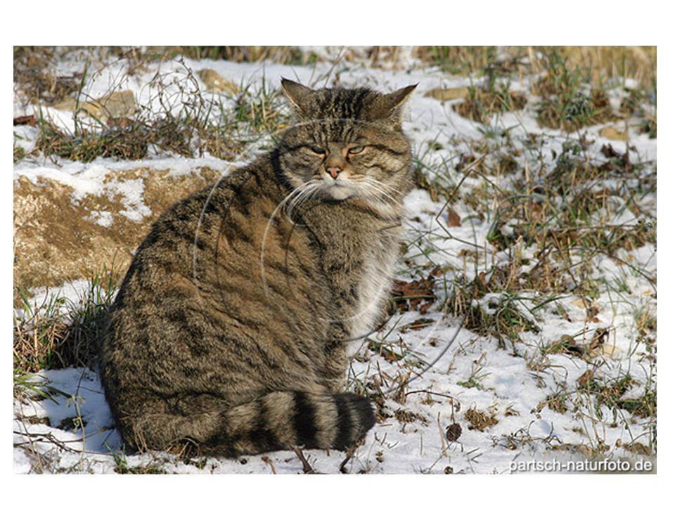 SITUAZIONE IN SCOZIA E UNGHERIA Relazioni tra gatti Tabby e non Tabby.
