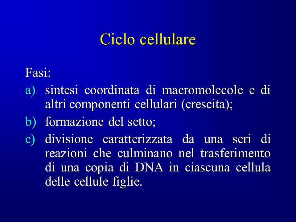 Ciclo cellulare Fasi: a)sintesi coordinata di macromolecole e di altri componenti cellulari (crescita); b)formazione del setto; c)divisione caratteriz