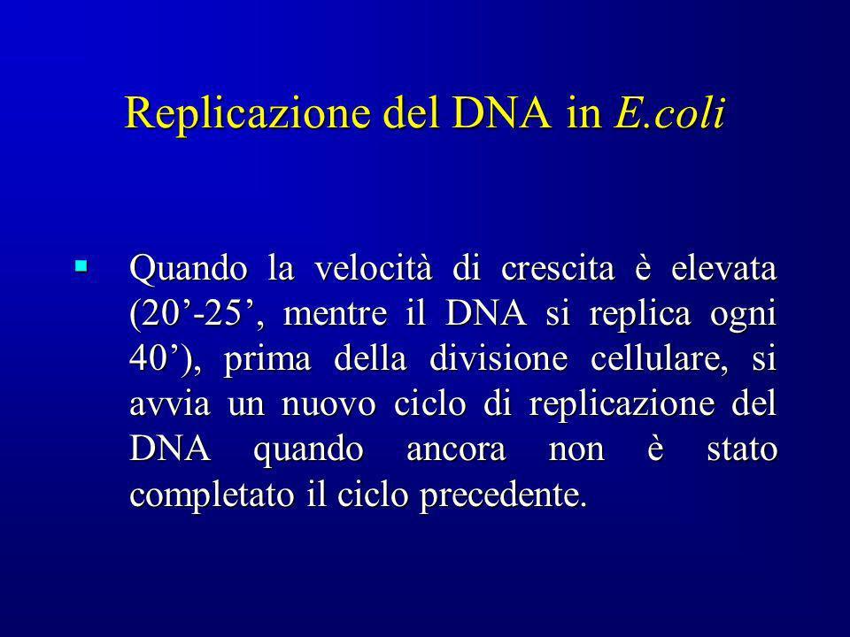 Replicazione del DNA in E.coli Quando la velocità di crescita è elevata (20-25, mentre il DNA si replica ogni 40), prima della divisione cellulare, si