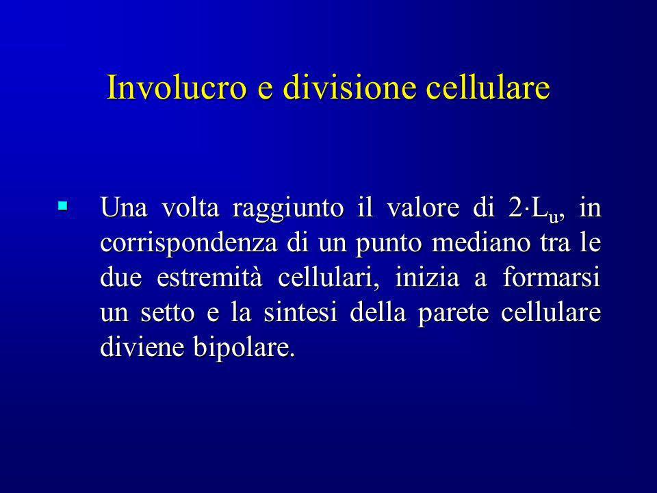 Involucro e divisione cellulare Una volta raggiunto il valore di 2 L u, in corrispondenza di un punto mediano tra le due estremità cellulari, inizia a