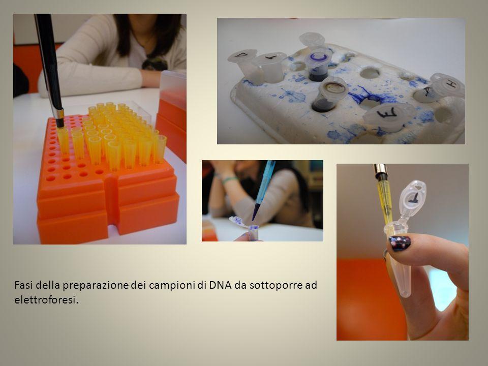 Fasi della preparazione dei campioni di DNA da sottoporre ad elettroforesi.