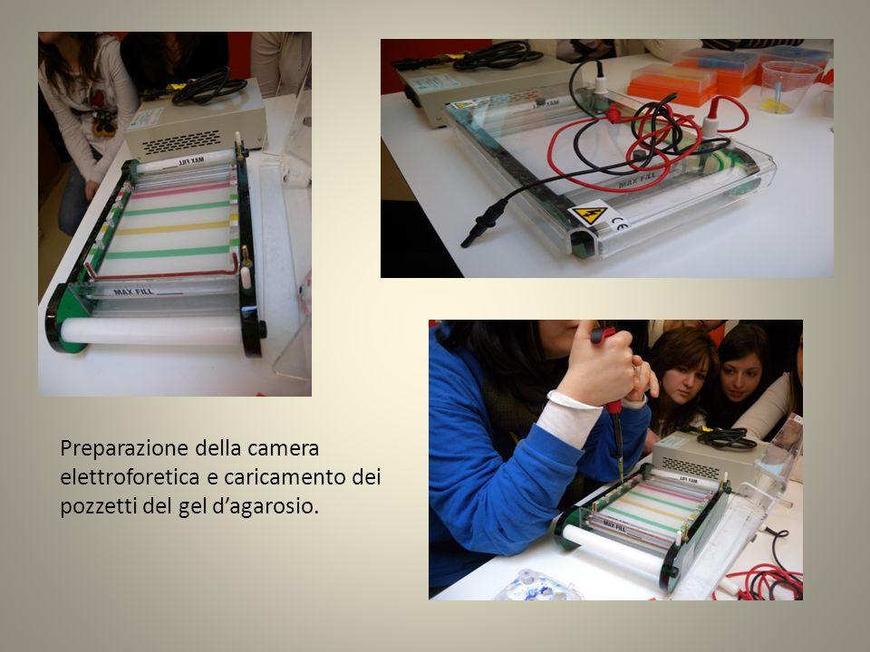 Preparazione della camera elettroforetica e caricamento dei pozzetti del gel dagarosio.