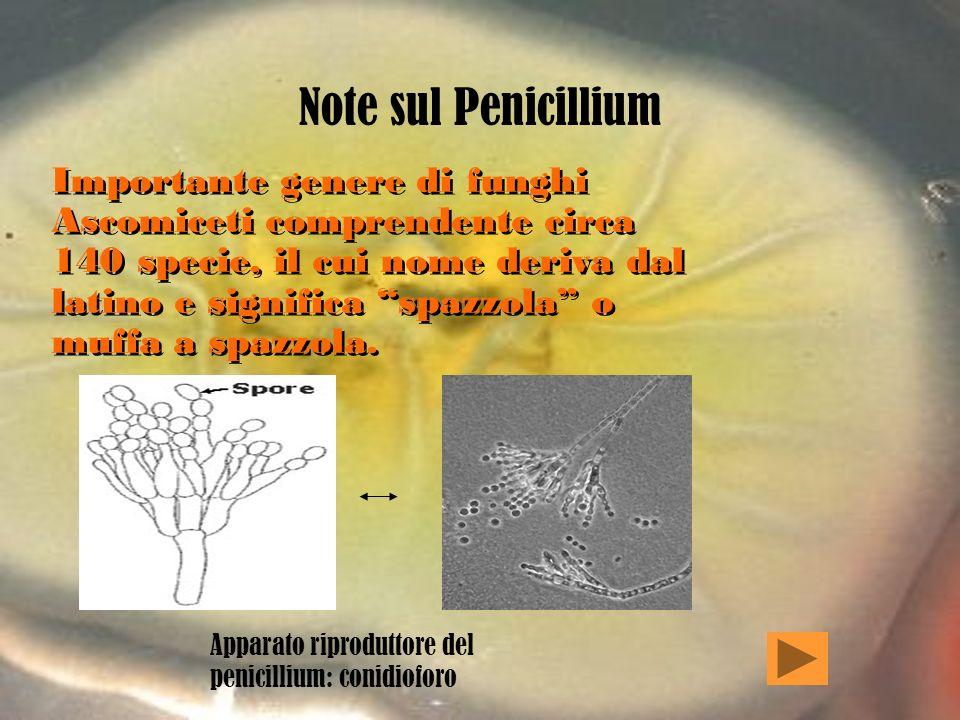 Alcuni tipi di penicilline sintetiche … Radicale (R)Nome Penicillina Meticillina Nafcillina Propicillina Formula base di tutti i tipi di penicilline