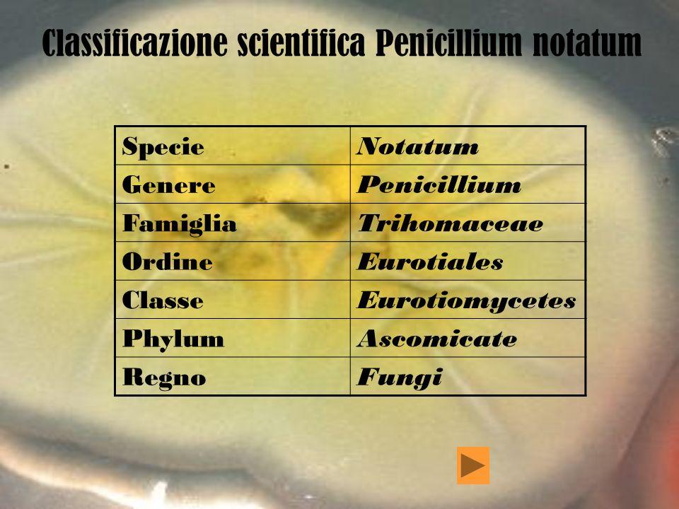 Note sul Penicillium Importante genere di funghi Ascomiceti comprendente circa 140 specie, il cui nome deriva dal latino e significa spazzola o muffa