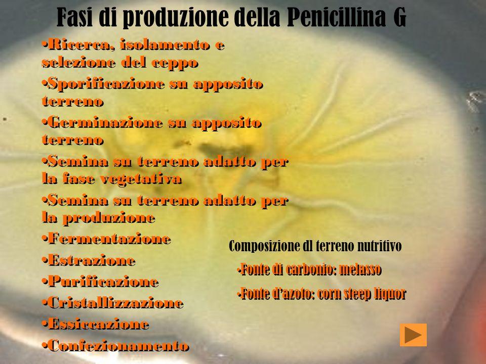 Come si produce? La penicillina viene prodotta a partire da ceppi selezionati di Penicillium chrysogenum, che rispetto al notatum garantisce rese più