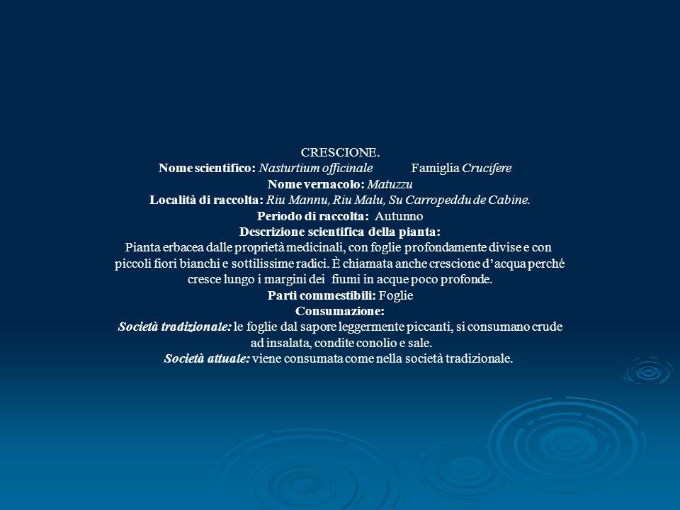 CRESCIONE. Nome scientifico: Nasturtium officinale Famiglia Crucifere Nome vernacolo: Matuzzu Località di raccolta: Riu Mannu, Riu Malu, Su Carropeddu