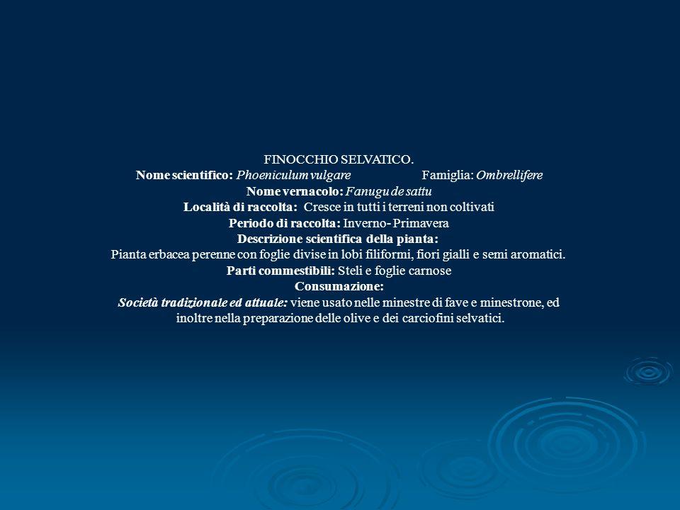 FINOCCHIO SELVATICO. Nome scientifico: Phoeniculum vulgare Famiglia: Ombrellifere Nome vernacolo: Fanugu de sattu Località di raccolta: Cresce in tutt