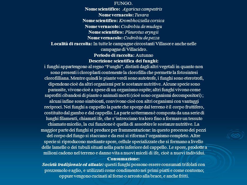 FUNGO. Nome scientifico: Agaricus campestris Nome vernacolo: Tuvara Nome scientifico: Krombhoiziella corsica Nome vernacolo: Codrobiu de mudegu Nome s