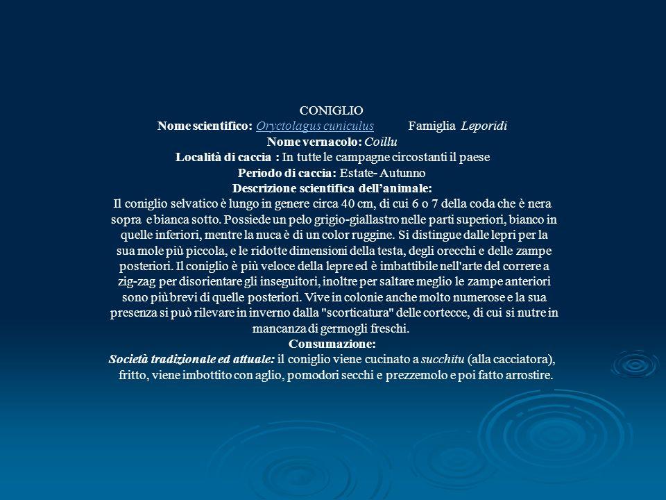CONIGLIO Nome scientifico: Oryctolagus cuniculus Famiglia LeporidiOryctolagus cuniculus Nome vernacolo: Coillu Località di caccia : In tutte le campag