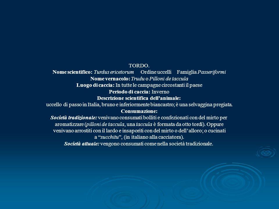 TORDO. Nome scientifico: Turdus ericetorum Ordine uccelli Famiglia Passeriformi Nome vernacolo: Trudu o Pilloni de taccula Luogo di caccia: In tutte l