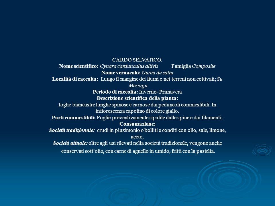 CARDO SELVATICO. Nome scientifico: Cynara cardunculus altivis Famiglia Composite Nome vernacolo: Gureu de sattu Località di raccolta: Lungo il margine