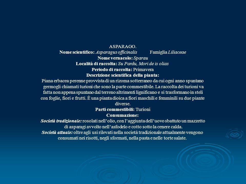 ASPARAGO. Nome scientifico: Asparagus officinalis Famiglia Liliaceae Nome vernacolo: Sparau Località di raccolta: Su Pardu, Mori de is olias Periodo d