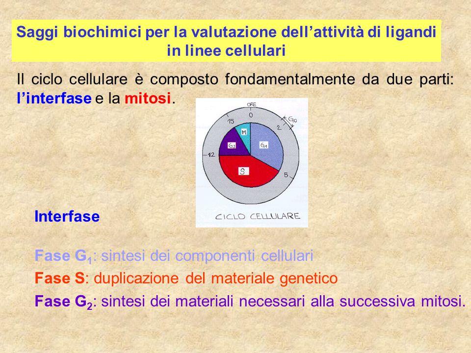 Saggi biochimici per la valutazione dellattività di ligandi in linee cellulari Interfase Fase G 1 : sintesi dei componenti cellulari Fase S: duplicazi