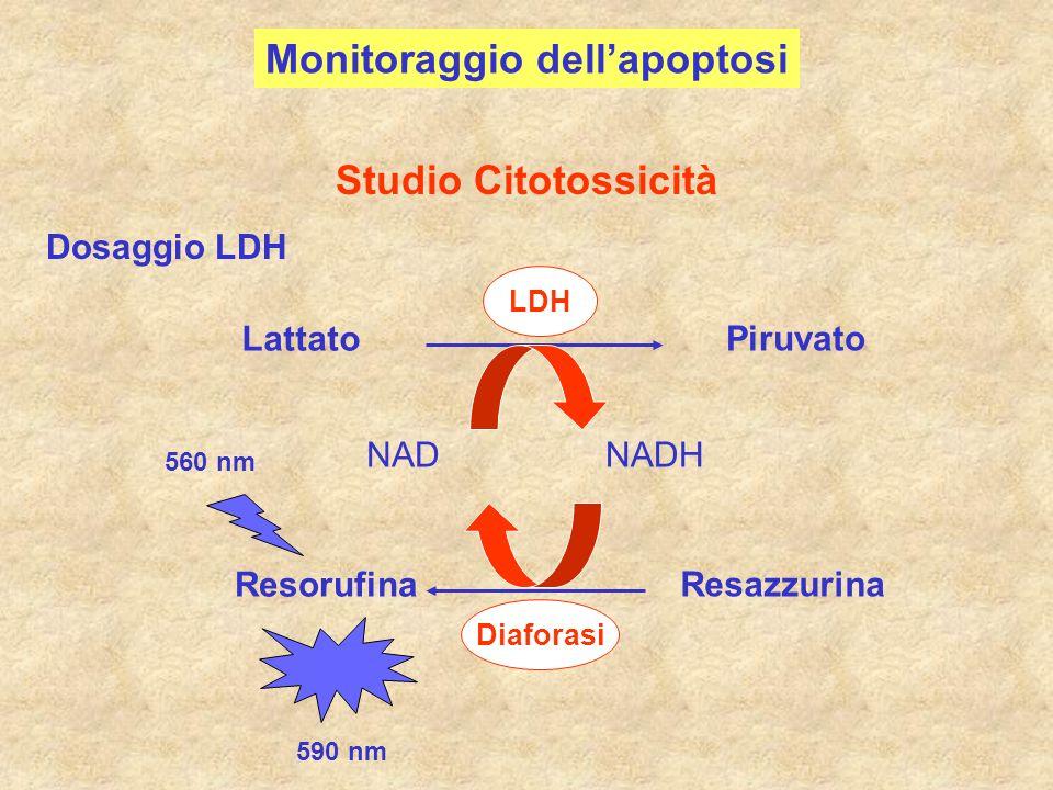 Lattato Piruvato LDH NADNADH Resazzurina Resorufina Diaforasi 560 nm 590 nm Dosaggio LDH Studio Citotossicità Monitoraggio dellapoptosi