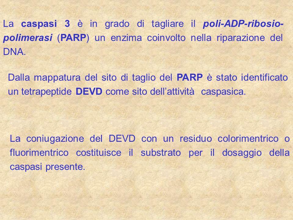 La caspasi 3 è in grado di tagliare il poli-ADP-ribosio- polimerasi (PARP) un enzima coinvolto nella riparazione del DNA. Dalla mappatura del sito di