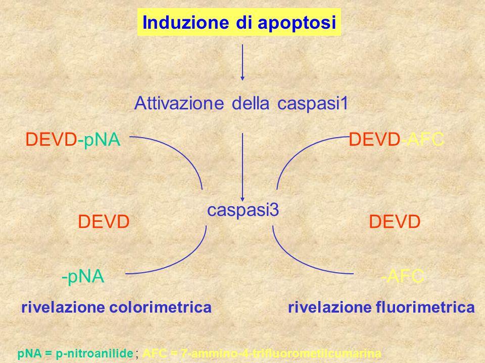 Induzione di apoptosi Attivazione della caspasi1 caspasi3 DEVD-AFC pNA = p-nitroanilide ; AFC = 7-ammino-4-trifluorometilcumarina DEVD-pNA DEVD -pNA-A