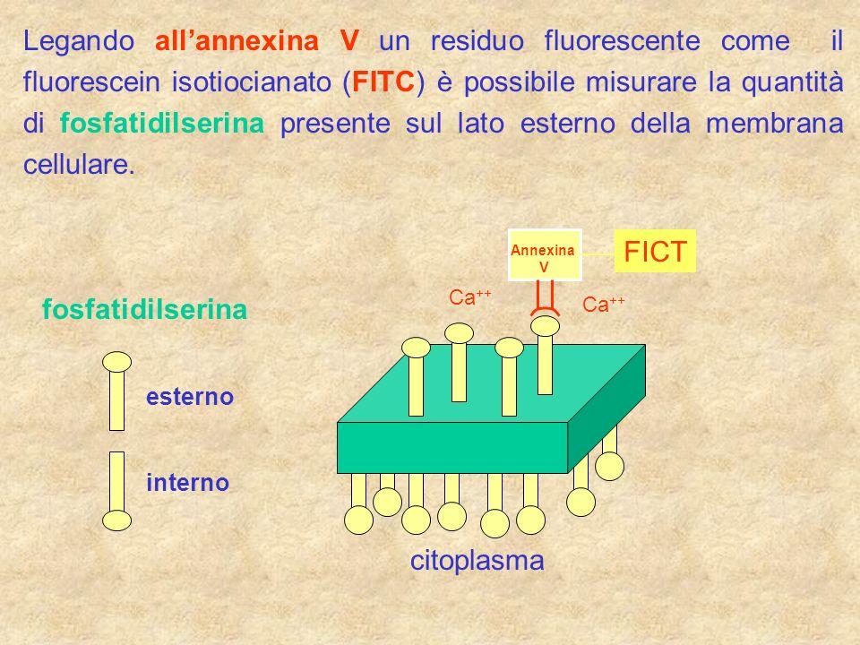 Legando allannexina V un residuo fluorescente come il fluorescein isotiocianato (FITC) è possibile misurare la quantità di fosfatidilserina presente s