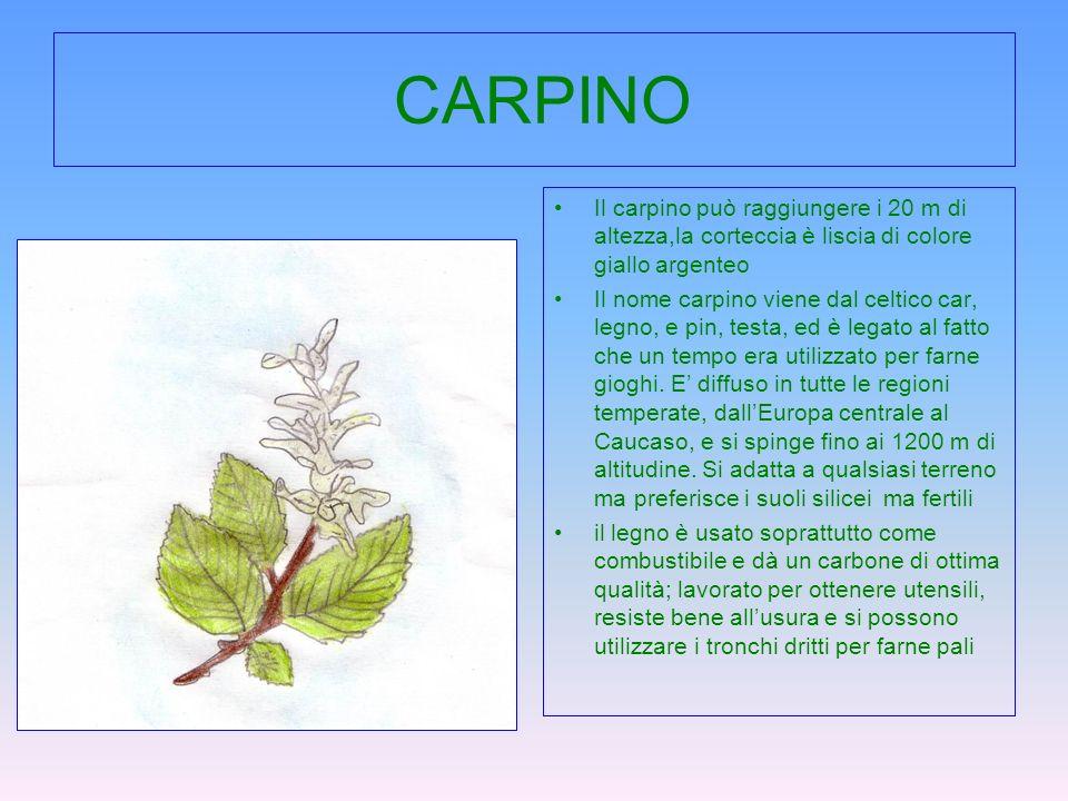 CARPINO Il carpino può raggiungere i 20 m di altezza,la corteccia è liscia di colore giallo argenteo Il nome carpino viene dal celtico car, legno, e p