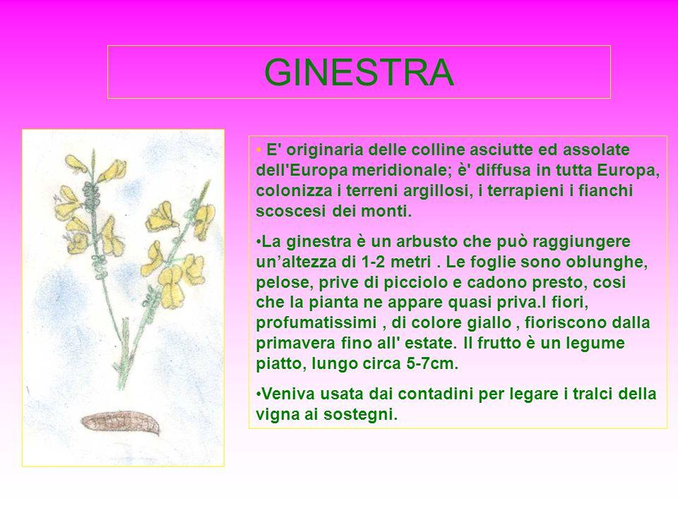 GINESTRA E' originaria delle colline asciutte ed assolate dell'Europa meridionale; è' diffusa in tutta Europa, colonizza i terreni argillosi, i terrap