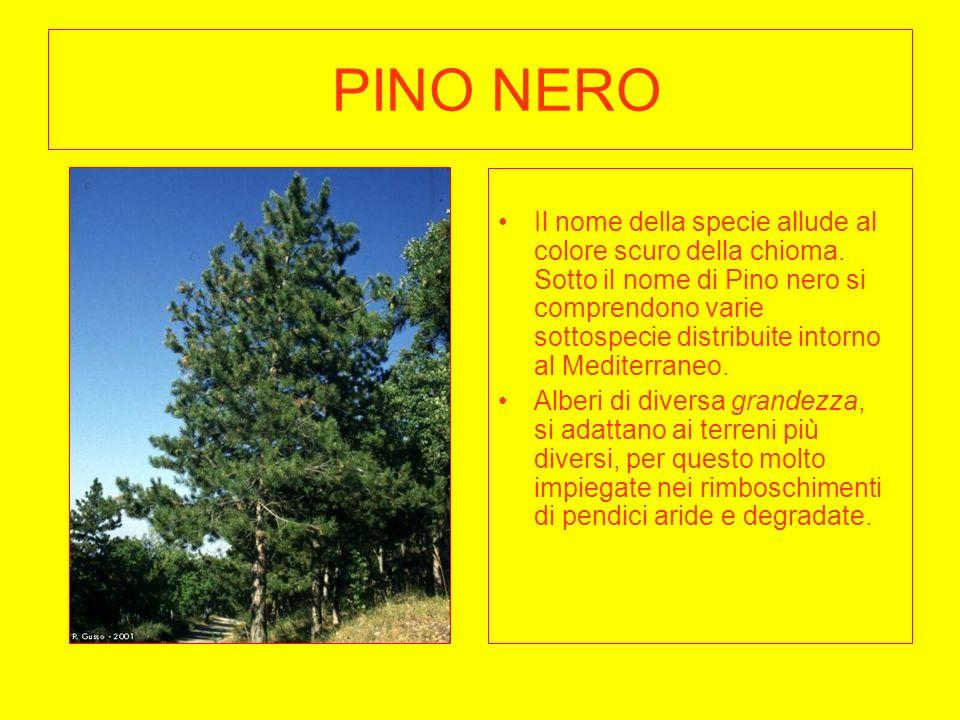 PINO NERO Il nome della specie allude al colore scuro della chioma. Sotto il nome di Pino nero si comprendono varie sottospecie distribuite intorno al