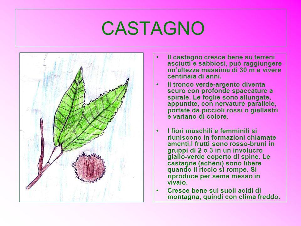 CASTAGNO Il castagno cresce bene su terreni asciutti e sabbiosi, può raggiungere unaltezza massima di 30 m e vivere centinaia di anni. Il tronco verde
