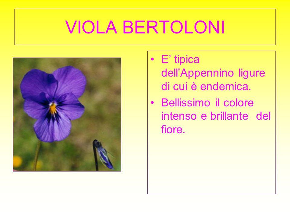 VIOLA BERTOLONI E tipica dellAppennino ligure di cui è endemica. Bellissimo il colore intenso e brillante del fiore.