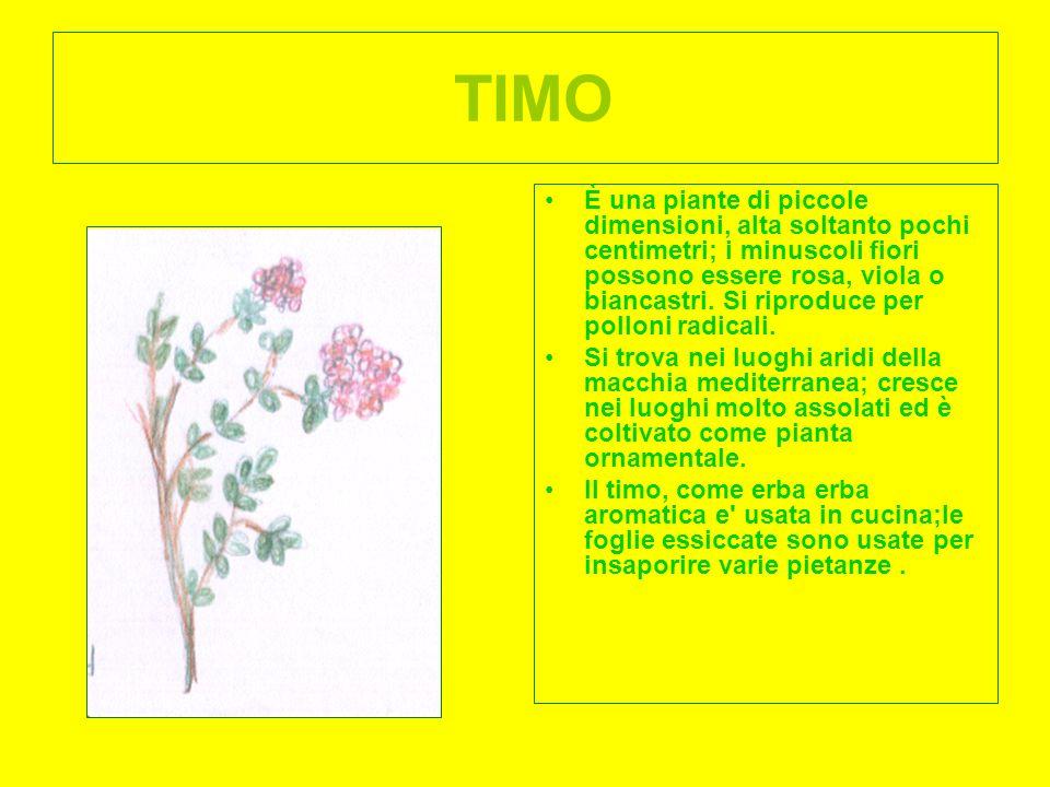 TIMO È una piante di piccole dimensioni, alta soltanto pochi centimetri; i minuscoli fiori possono essere rosa, viola o biancastri. Si riproduce per p