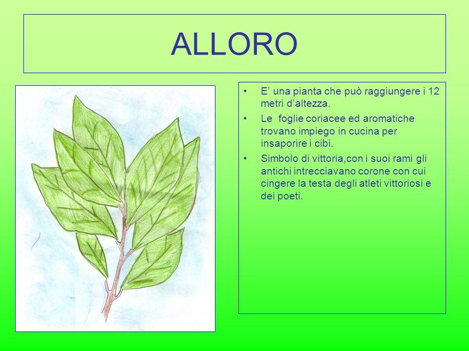 ALLORO E una pianta che può raggiungere i 12 metri daltezza. Le foglie coriacee ed aromatiche trovano impiego in cucina per insaporire i cibi. Simbolo
