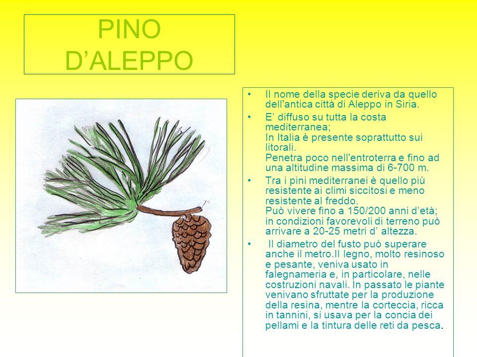 PINO DALEPPO Il nome della specie deriva da quello dell'antica città di Aleppo in Siria. E diffuso su tutta la costa mediterranea; In Italia è present