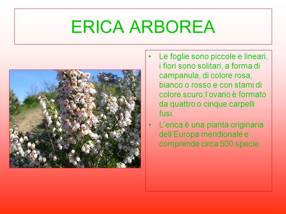 ERICA ARBOREA Le foglie sono piccole e lineari, i fiori sono solitari, a forma di campanula, di colore rosa, bianco o rosso e con stami di colore scur