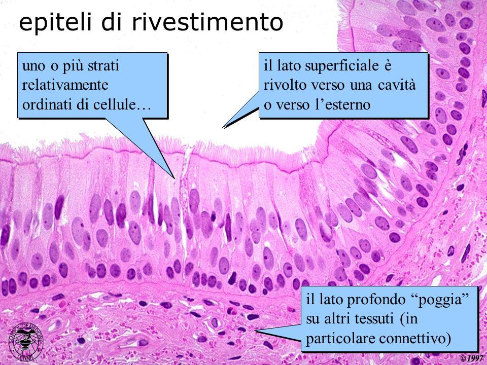 epiteli di rivestimento uno o più strati relativamente ordinati di cellule… il lato superficiale è rivolto verso una cavità o verso lesterno il lato p