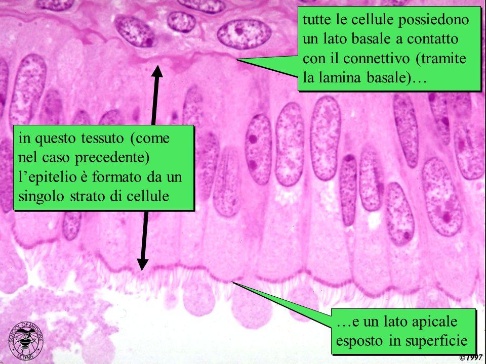 ovidotto in questo tessuto (come nel caso precedente) lepitelio è formato da un singolo strato di cellule tutte le cellule possiedono un lato basale a