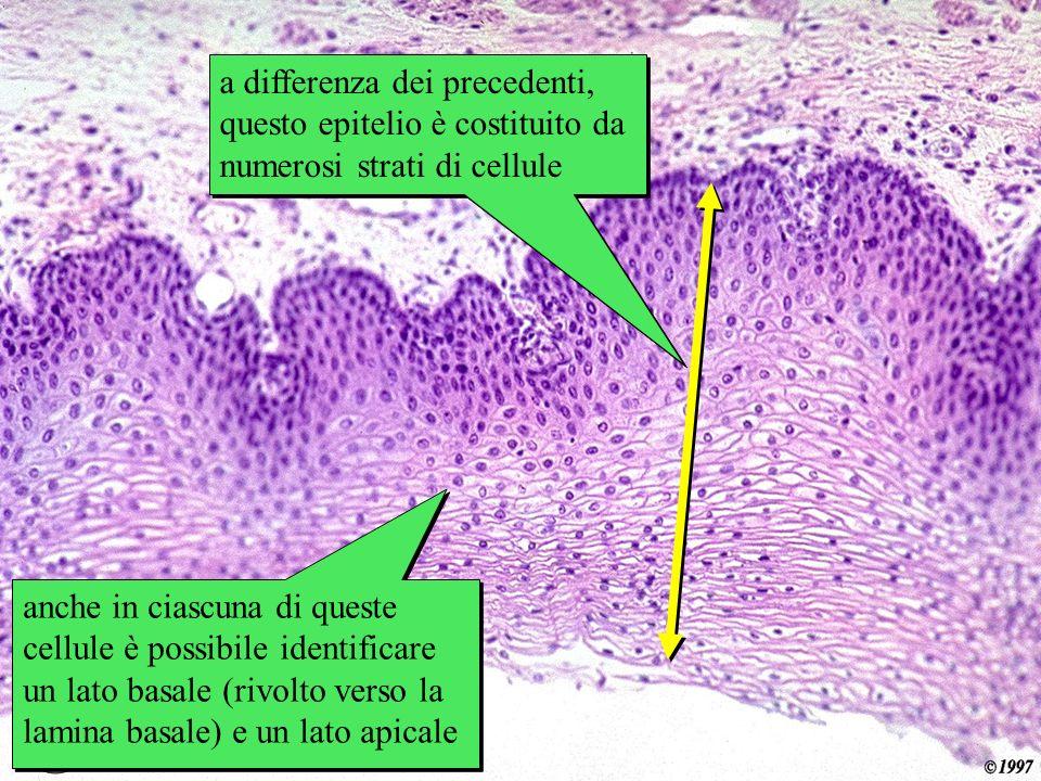 esofago a differenza dei precedenti, questo epitelio è costituito da numerosi strati di cellule anche in ciascuna di queste cellule è possibile identi