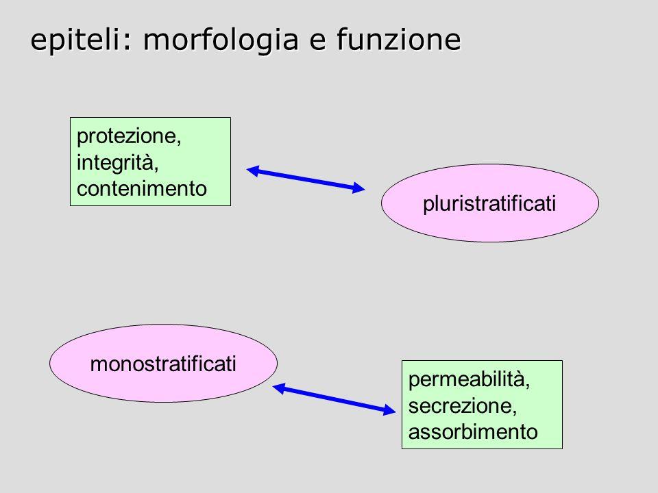 epiteli: morfologia e funzione protezione, integrità, contenimento permeabilità, secrezione, assorbimento monostratificati pluristratificati