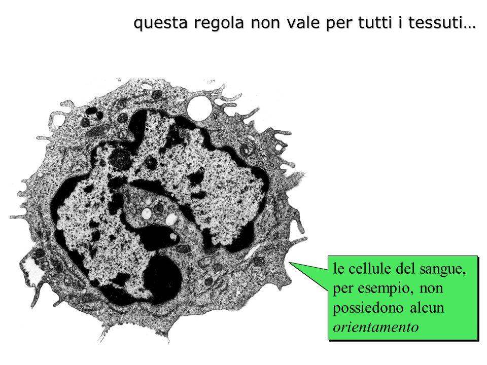 le cellule del sangue, per esempio, non possiedono alcun orientamento questa regola non vale per tutti i tessuti…