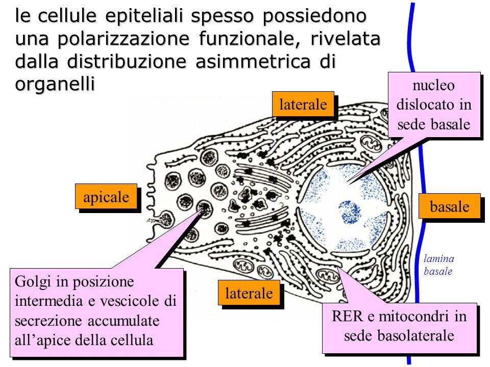 le cellule epiteliali spesso possiedono una polarizzazione funzionale, rivelata dalla distribuzione asimmetrica di organelli apicale basale laterale n